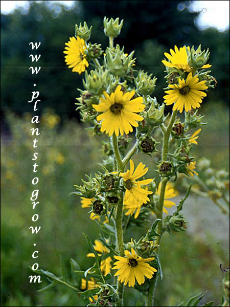 A group of flower of the Compass Plants (Silphium laciniatum).