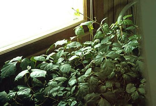 10-12 | Plants To Grow Plants Database by Paul S. Drobot on codium plant, medinilla plant, barleria plant, epipremnum plant, dioscorea plant, coccoloba plant, dorstenia plant, chirita plant, kiwi fruit plant, calendula officinalis plant, fiddle leaf plant, veltheimia plant, brassaia plant, bursera plant, adromischus plant, rhapis plant, cocculus plant, calandrinia plant, asystasia plant,
