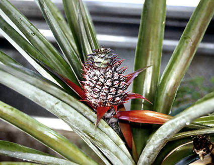 A small pineapple developing on the plant.