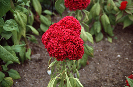 "I call this the ""Brain Celosia"".  The flower heads can get very large and last forever as a dried flower. A very pettable flower."