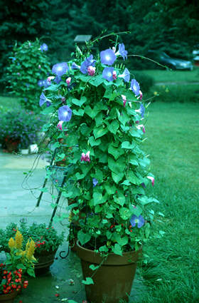 "The Morning Glory ""Heavenly Blue""  is supported in the pot by a conical shaped tower.  I put 3 plants in this pot and paid for this mistake.  We had to cut off  at least two feet of the plant each week because it grew so fast.  The plant eventually became top heavy and I had to weight it down with bricks so it wouldn't tip over"