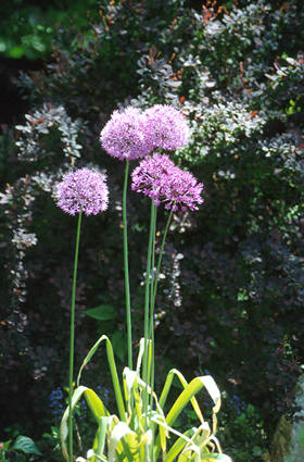 A great shot of some back lit Allium flowers against the back drop of Rosey Glow Barberry.