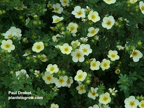 "Potentilla ""Katherine Dykes"" has light lemon- yellow flowers.  The branches gracefully arch."