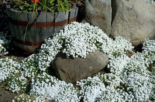 This picture was taken in mid to the end of October.  The Alyssum was still going strong, while most of the surrounding plants were way past their prime.