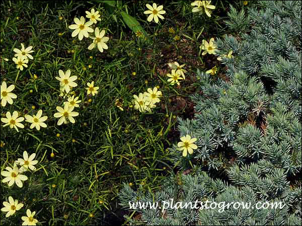 Coreopsis Moonbeam and Blue Star Juniper.