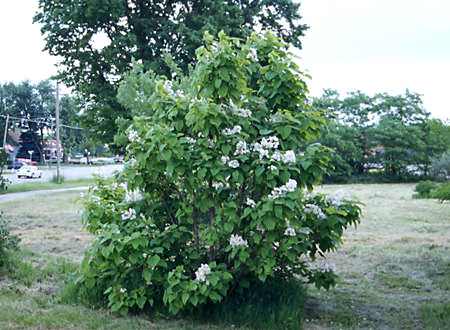 A small tree growing in the shadow fo a large Catalpa.
