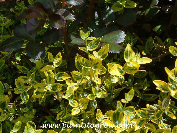 Euonymus Emerald and Gold foliage intermingling with the dark foliage of Meidiland Red.