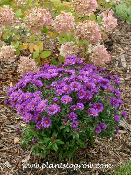 Aster Purple Dome planted in front of Hydrangea Lime Light (End of September)