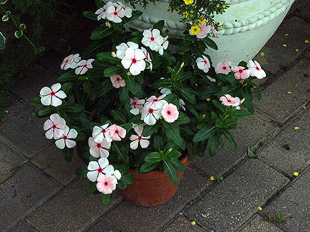 Madagascar periwinkle (Catharanthus roseus) A pot of Vinca Pacifica Apricot