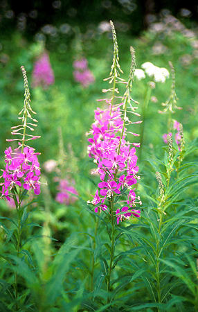 "The flowering spike of the ""Fireweed"""
