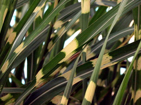 A close up of the variegated stripes on the leaves.