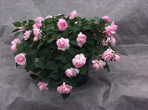 "A 6"" pot full of ""Pink"" Tioga double Impatiens."