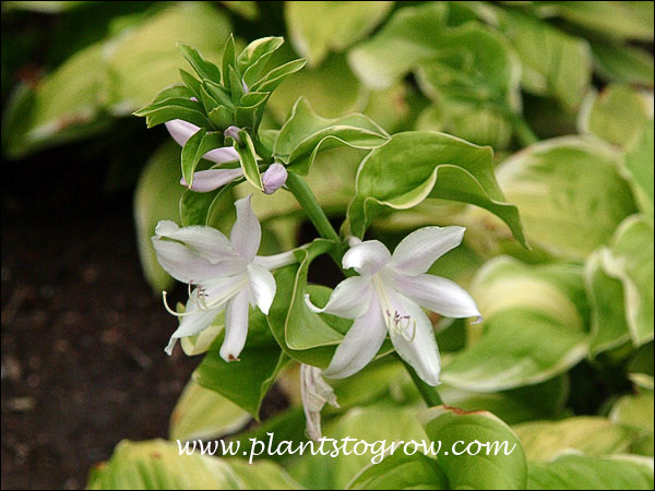 Hosta Fragrant Bouquet (Hosta)  Starting to bloom in mid July (7/15)