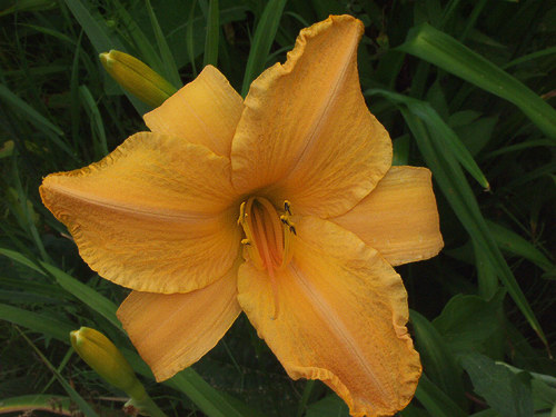 "Daylily  ""Ruffled Apricot"" has 6"" apricot-orange flowers. It gets about 32"" tall and starts blooming early to mid July."