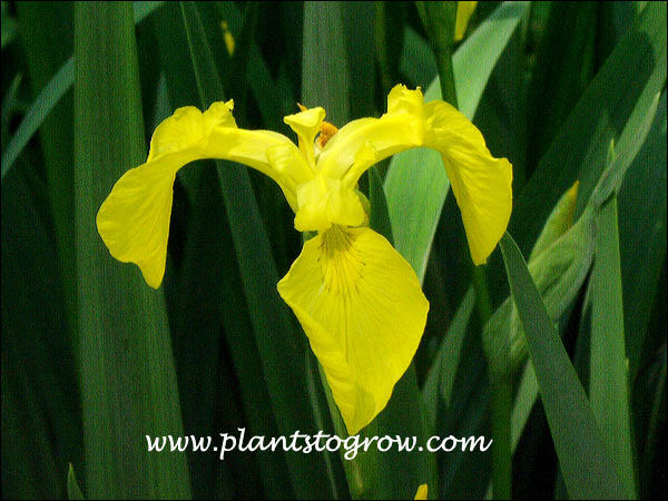 Yellow Flag Iris (Iris pseudacorus) Although this has a beautiful flower, it is considered an invasive plant in some areas. Removal of the seed pods will control it's reseeding habit.