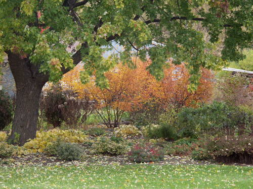 "This is looking through a vista I created through one of my larger perennial gardens. The golden yellow shrub in the foreground is Amelanchier  ""Autumn Brilliance"". The color was a bit muted this year, probably because of the extremely dry summer."