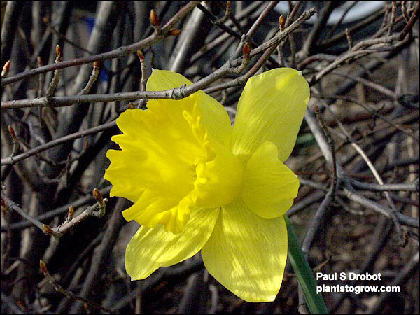 Daffodil King Alfred