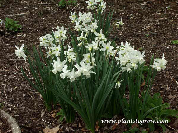 Daffodil Thalia