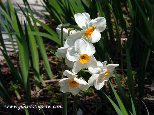 "Narcissus Geranium has 3-5 white and orange flowers per stem. A long lasting good perennializer plant. Reaches 16-18"" and is a late to midseason bloomer. Heirloom, 1930"