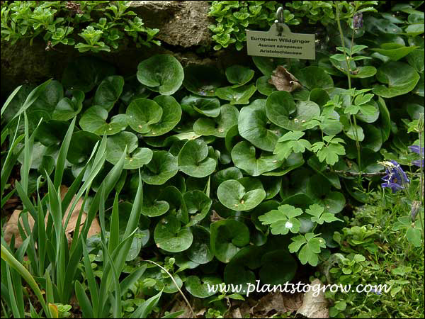 European Ginger (Asarum europaeum) An excellent, attractive ground cover for the shaded areas of the garden.