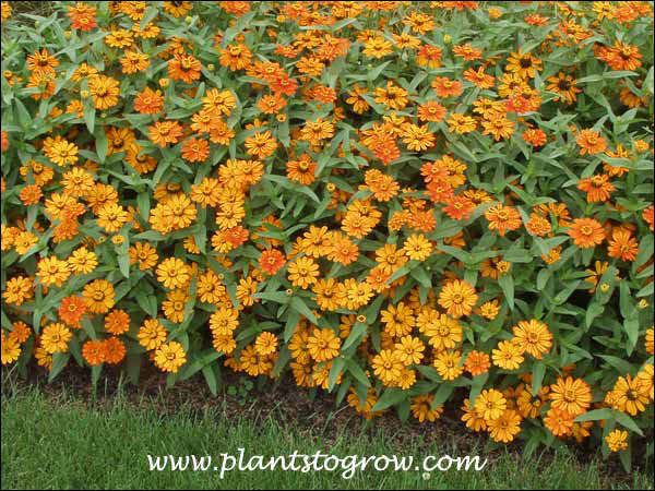 Zinnia Phoenix Fire Orange