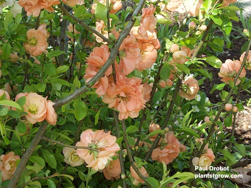 "Flowering Quince ""Cameo"" is one of the better double forms with apricot pink flowers.  Reaches 4'-5' high."