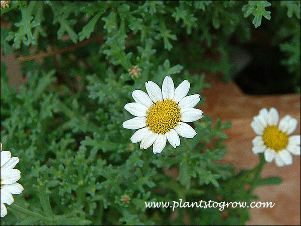 Harvest Snow has small white daisy-like flowers and the foliage has a bluish tinge.