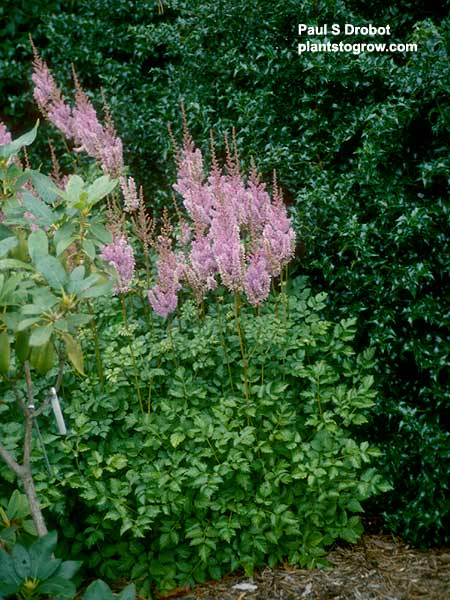An Astillbe growing with a Rhododendron and a Holly hedge.
