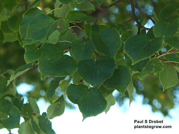 The leaves of the Little Leaf Linden are much smaller than the native Linden and American Linden.