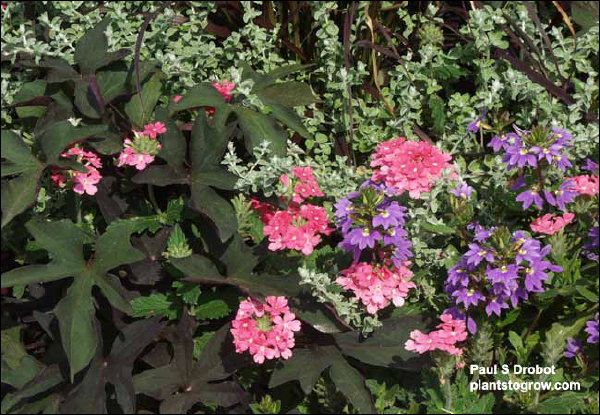 "The large dark purple colored leaves are Sweet Potato ""Blackie"", silver leaved ""Petite"" Licorice, pink flowers Verbena Temari Bright Pink and the blue Scanola ""New Wonder"". A nice combination for the full sun."