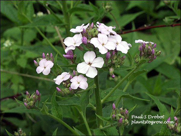 Dames Rocket (Hesperis matronalis) One of the typical flower colors of this plant. (June 2) . The flower is called a cruciform because the four petals are opposite forming a cross.