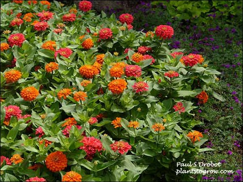 Zinnia Magellan are 15 inches tall with 5-6 inch flowers. Good heat and humidity tolerance.  Series was developed by Goldsmith Seeds.