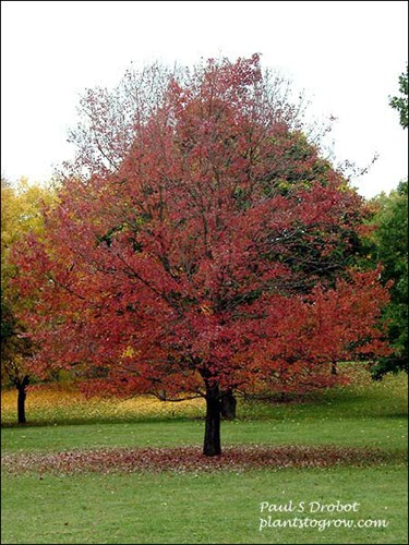 The picture was taken past its prime fall color which is a deep red color.  (Oct. 22)
