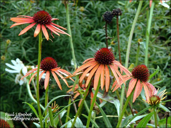 A exciting color change from the normal purple or white Purple Coneflowers.