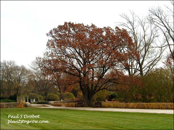 A large mature tree in the fall of Red Oak (Quercus rubra)