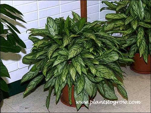 Silver Queen Chinese Evergreen (Aglaonema)