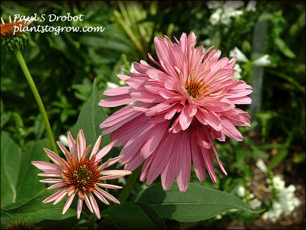 A truly unusual double tiered Echinacea.