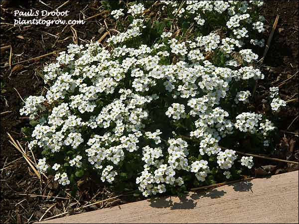 Arabis Snow Cap has larger white flowers than the species. (April 25)
