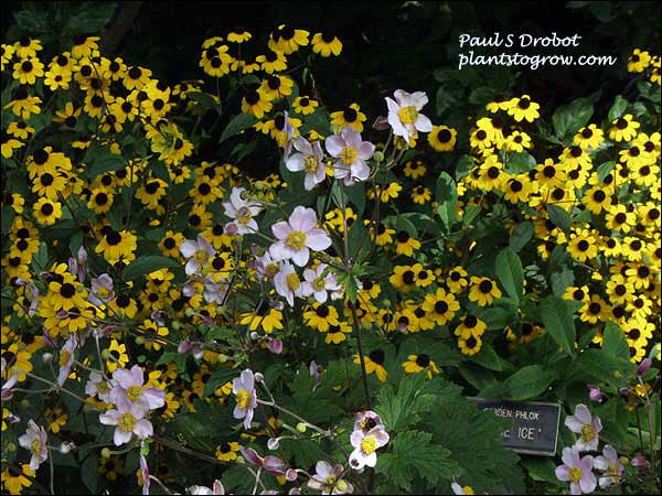 Anemone Robustissima growing along with Rudbeckia. (Sept 15)