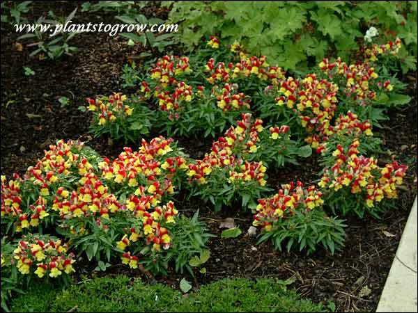 Snapdragon Floral Showers Yellow Bicolor is a nice short, compact plant.