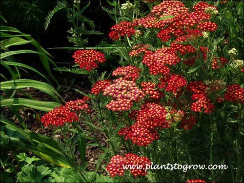 The brick red flowers of Achillea Fanal