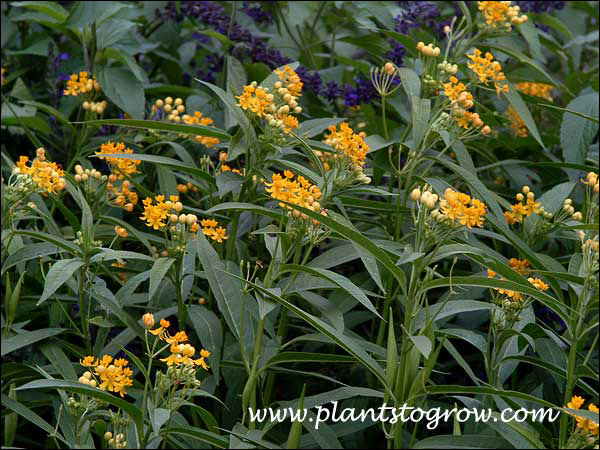 Asclepias Silky Gold (Milkweed Silky Gold)