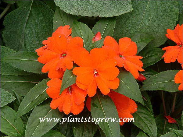 Impatiens Fisnics Orange