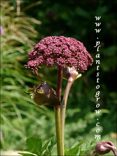 The flower head is made of many groups (umblets)  of smaller flowers clumped together to form the compound umbel.