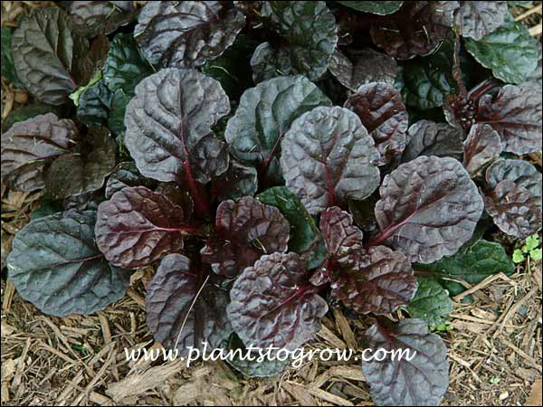 Ajuga Black Scallop has an intense foliage color.