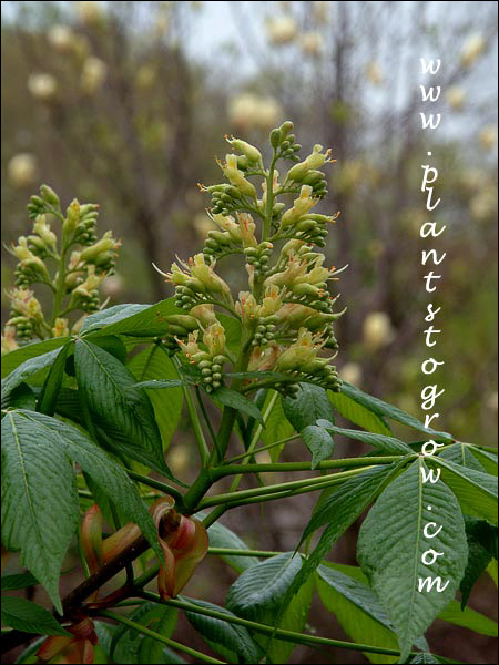 flowers are a terminal panicle  (April 29)
