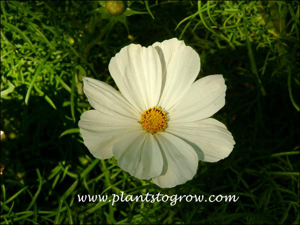 Cosmos Sonata White and All American Winner