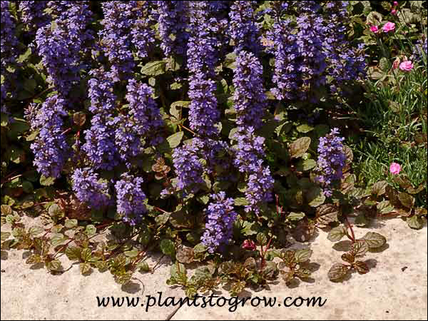 I like how the Ajuga was allowed to creep out onto the walk. (May 19)