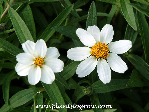 Zinnia Crystal White The white structures we normally call petals are really flowers.  They are called ray flowers.