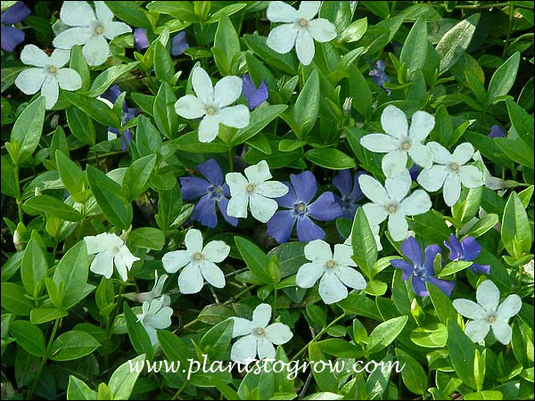 The white and blue flowering Vinca minor in the same space.